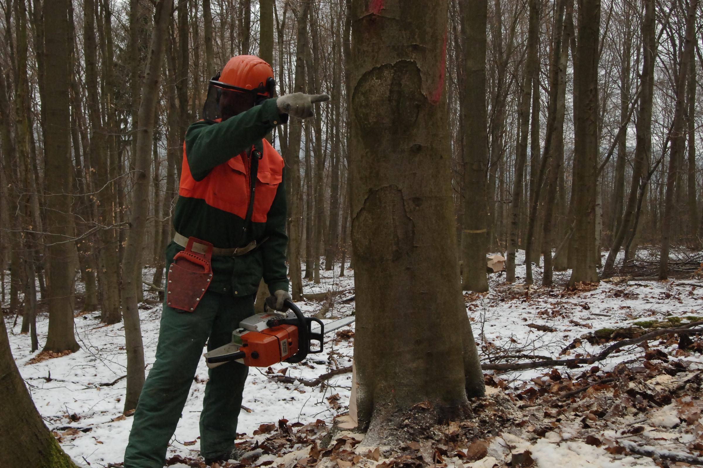 Jens Zimmer Stihl Buche Fällung AS-Baum I